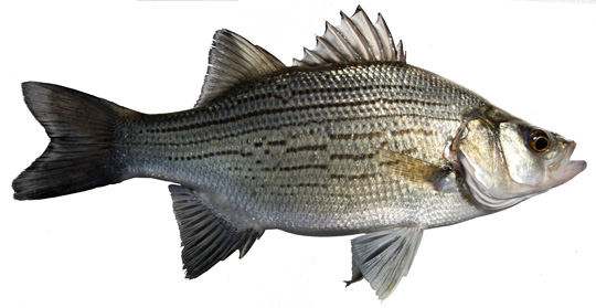 white_bass copy 2