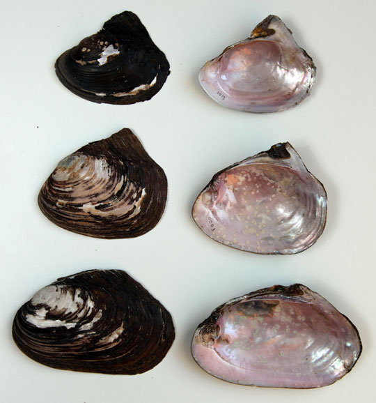 Shells from (Ithink) 3 Pink Heelsplitters (Potamils alatus).